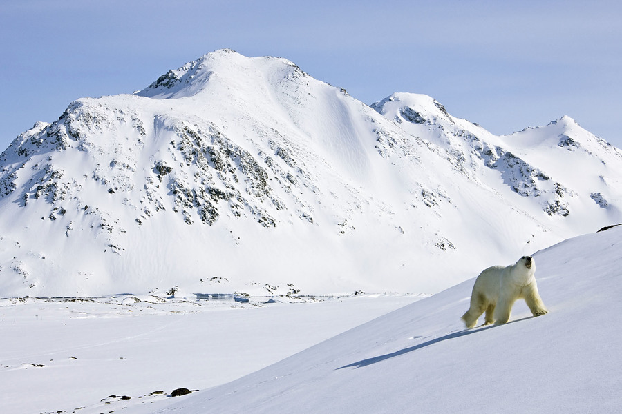 Белый медведь в Гренландии, Polar Bear in Greenland