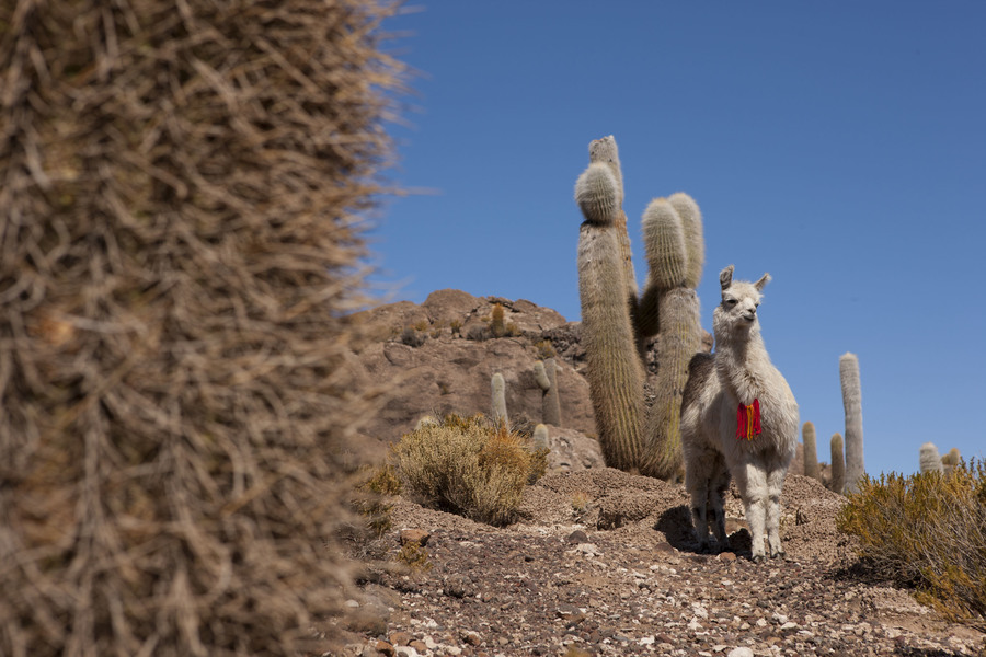 Джип тур по Боливии, Животные Боливии, гуанако. Jeep Tour in Bolivia, Animals of Bolivia, Guanaco