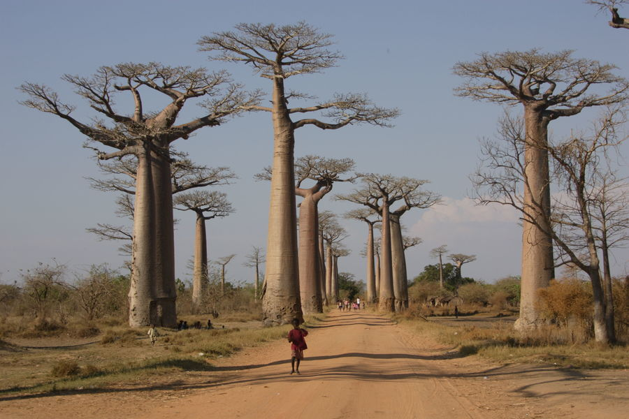 Мадагаскар, Авеню Баобабов. Madagascar, The Avenue of Baobabs