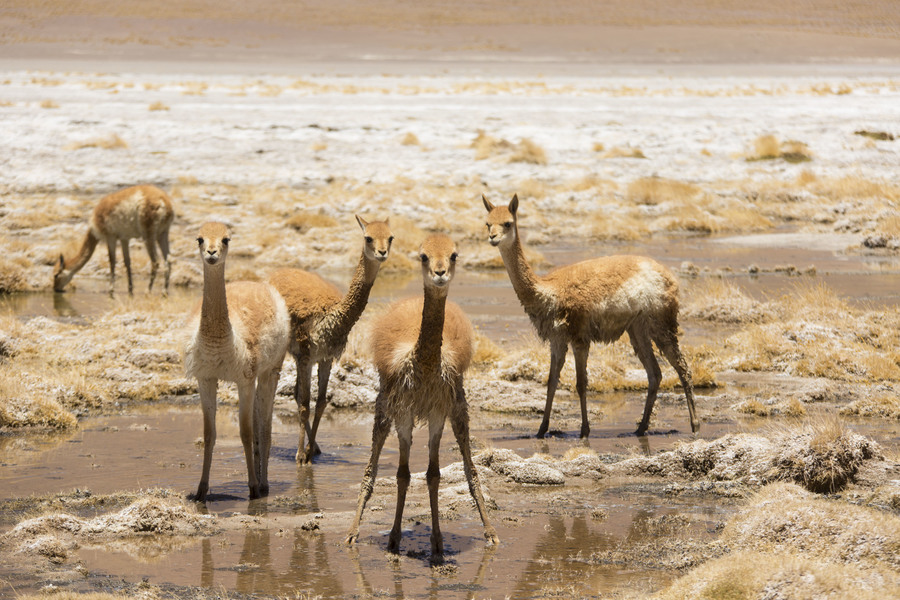 Животные Боливии, гуанако. Animals of Bolivia, Guanaco