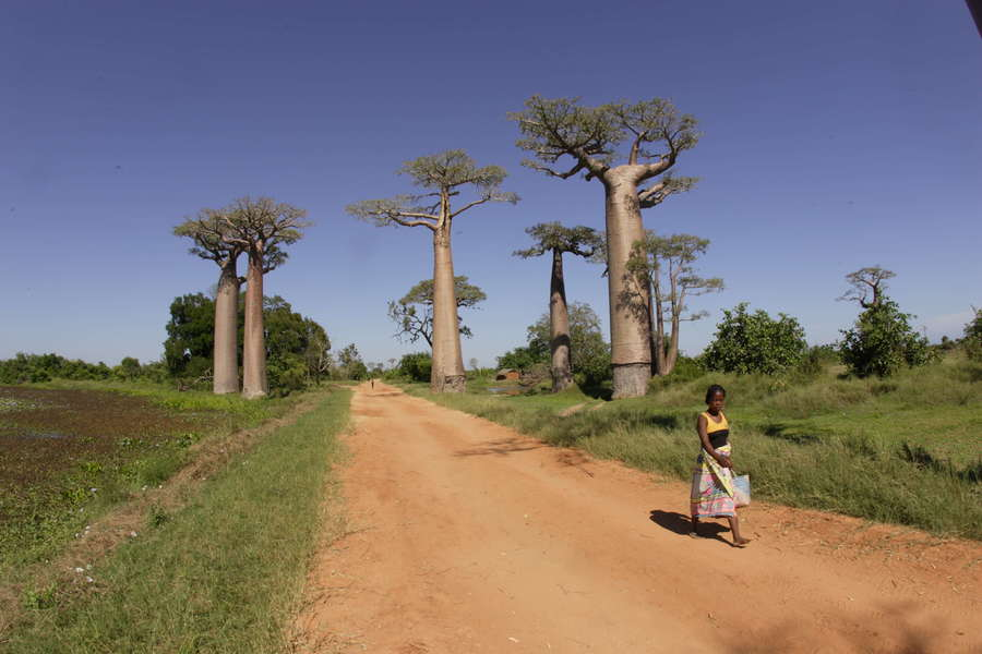 Мадагаскар, Авеню Баобабов, Madagascar, The Avenue of Baobabs